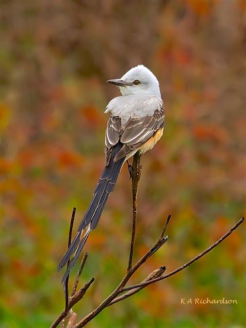 Scissor-tailed Flycatcher -04