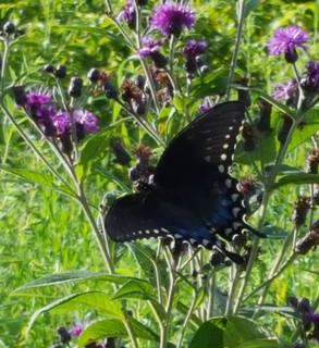 2019-08-21. Spicebush Swallowtail upper wing 2