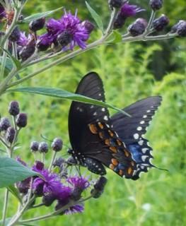 2019-08-21. Spicebush Swallowtail underwing
