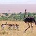 Thomson Gazelle and Common Ostrich, Masaï Mara, Kenya