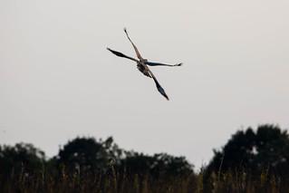 Four Winged Buzzard???