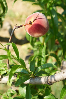 Perfect Peach -005