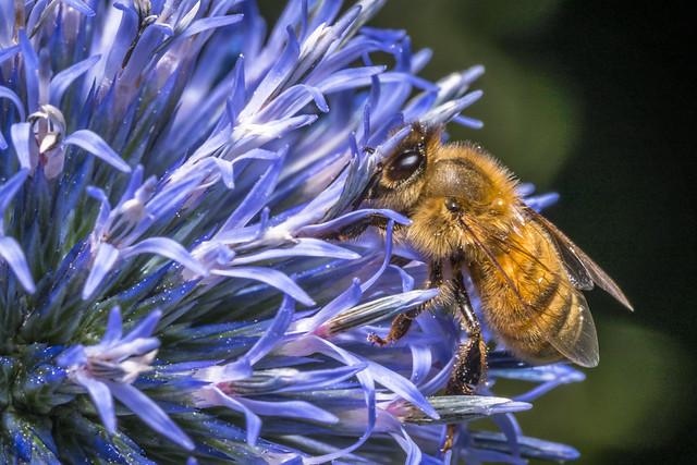 7-25-2019 Macro bee on white flower-51