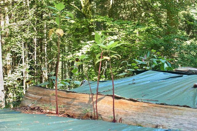 Naturverjüngung auf Holzstapel