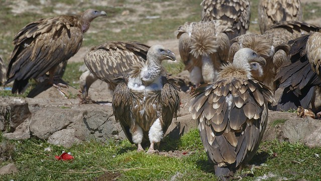 Himalaya vulture (bya rgod ), Tibet 2018