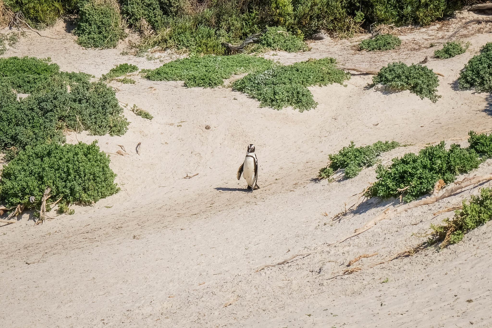 Penguins at Boulders Beach!