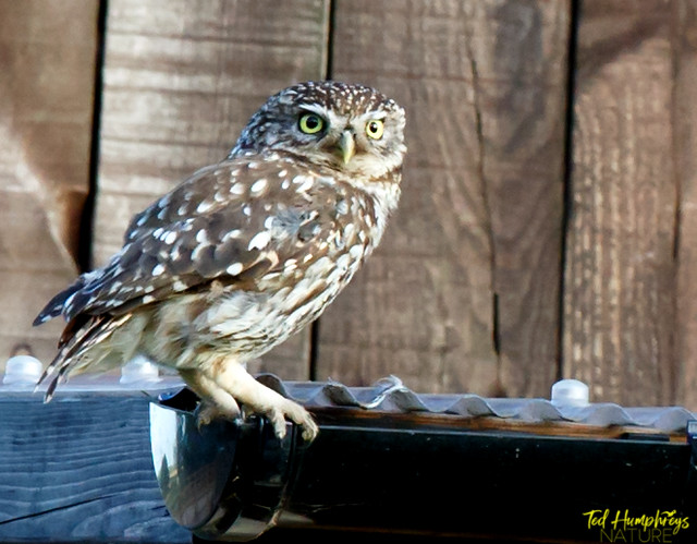 Little owl on guttering