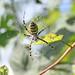 Wasp spider_3255