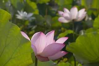 Hasu,Kyoto Botanical Gardens,Kyoto
