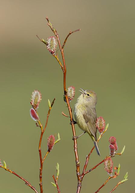 Orange-crowned Warbler - Nome