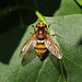 Volucella inanis_3295