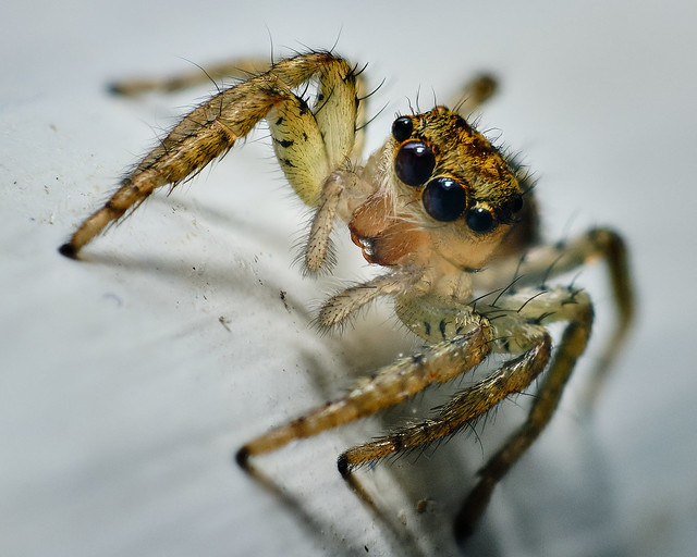 Jumping spider focus stack