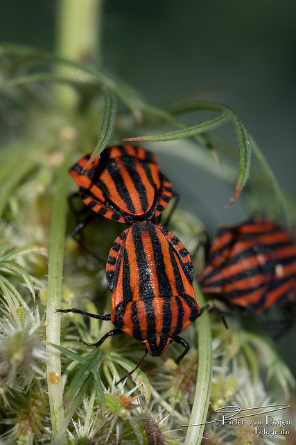 Striped bug (Graphosoma lineatum)