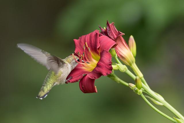 Colibri à gorge rubis  -  Ruby-throated Hummingbied
