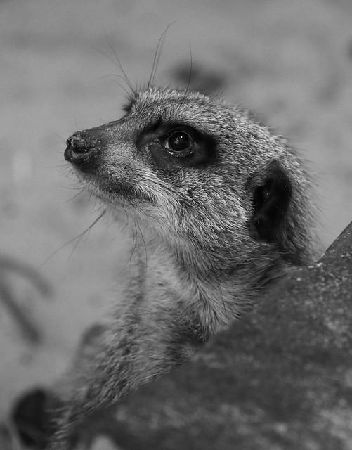 Meerkat in mono.   (IMG_4097)