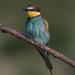Merops apiaster (European bee-eater, Gruccione comune).jpg
