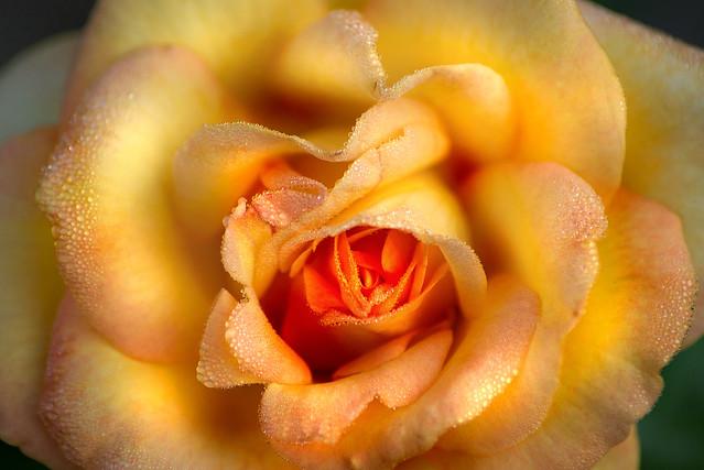 Rose with Dew 3-0 F LR 8-11-19 J233