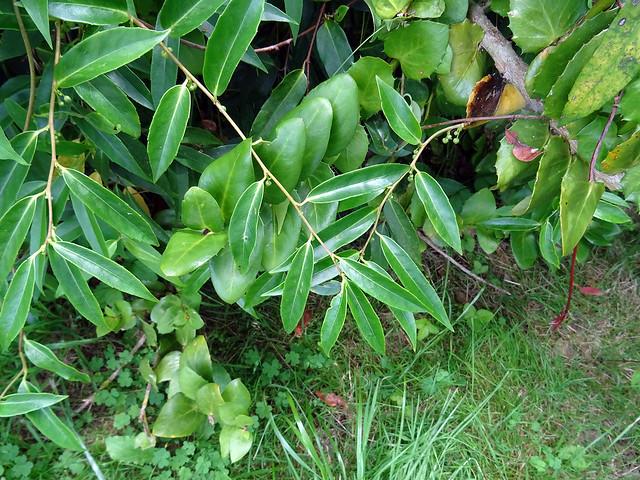 Schisandra propinqua ssp. sinensis (Oliv.) R.M.K.Saunders 1997 (SCHISANDRACEAE).