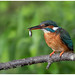 IJsvogel (vrouw) - Common Kingfisher (female)  (Alcedo atthis) ...
