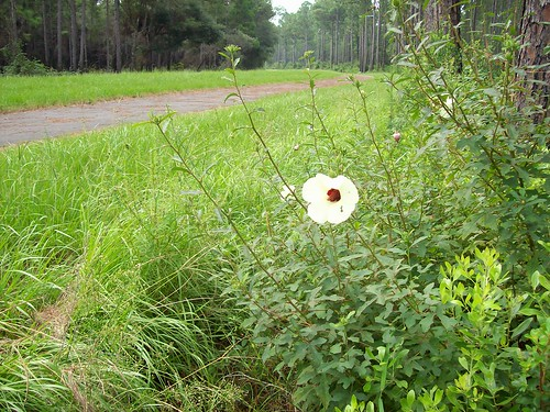Sarracenia OB Trail summer