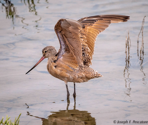 Marbled Godwit (Limosa fedoa) Bolsa Chica Wetlands, Huntington Beach, California, USA