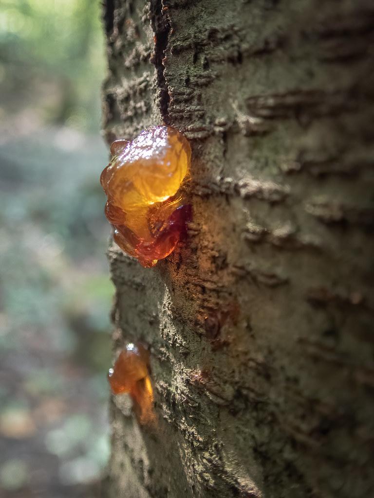 Le sang des arbres coule comme de l'or en fusion... 48594972952_0aa2bd8454_b