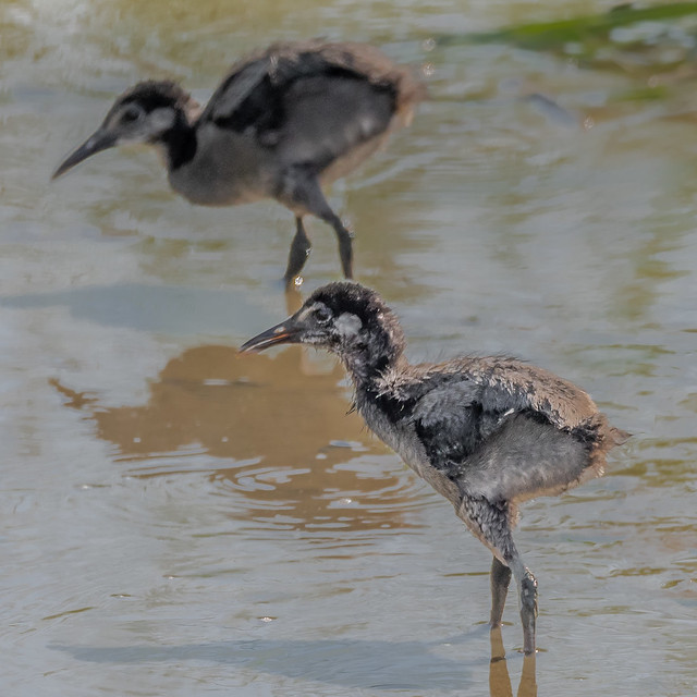 Two chicks playing in the mud
