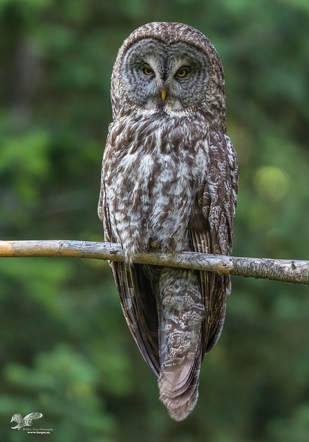 Momma Is Watching (Great Grey Owl)