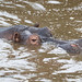 Hippopotamus Surfaces In The Muddy Waters Of The Mbalageti River
