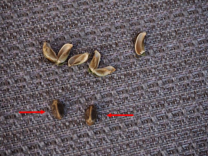 Jatropha podagrica - Page 13 48595914857_8d16fb5f51_o