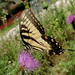 Yellow Swallowtail Butterfly Feeding On A Thistle Flower 20190821_141035