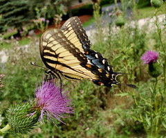 Yellow Swallowtail Butterfly Feeding On A Thistle Flower 20190821_141040