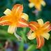 Vibrant Lilies