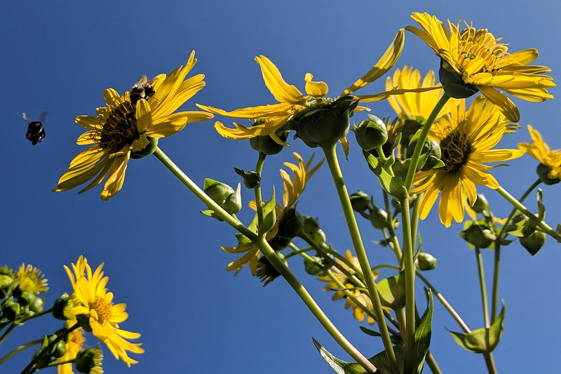 looking up at a cluster of cup plant blossoms, with a bee on one flower and another flying past