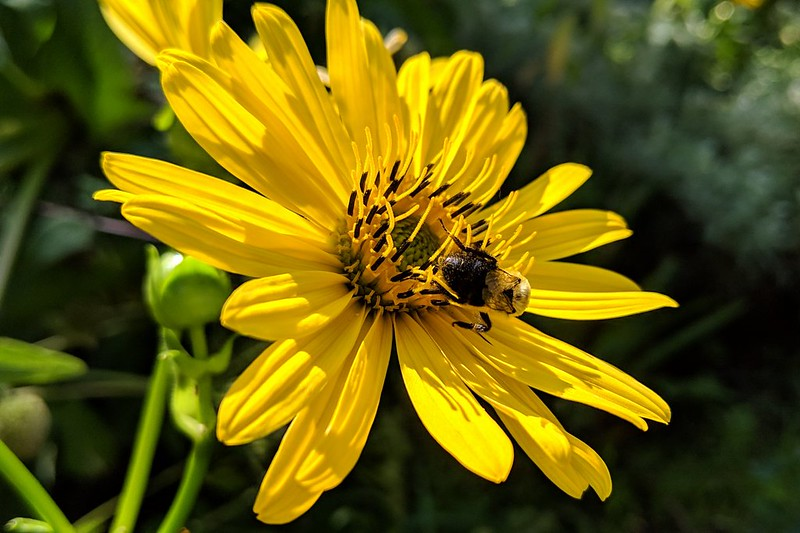 bumblebee in the center disk of a cup plant flower