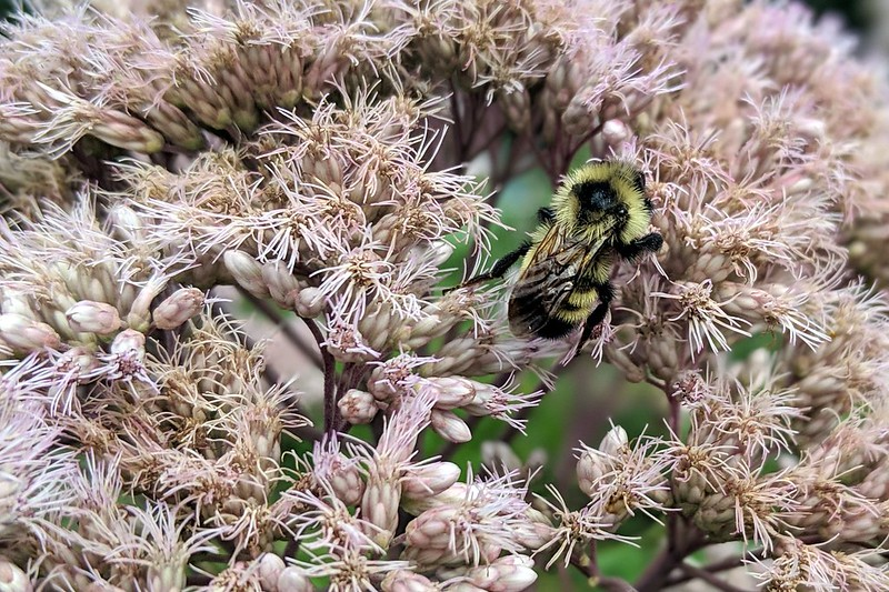 closeup of a bumblebee face-down in joe-pye weed