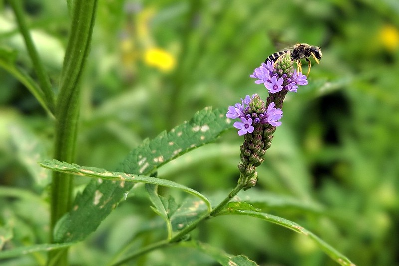 bee with yellow legs standing on top of a blue vervain spike