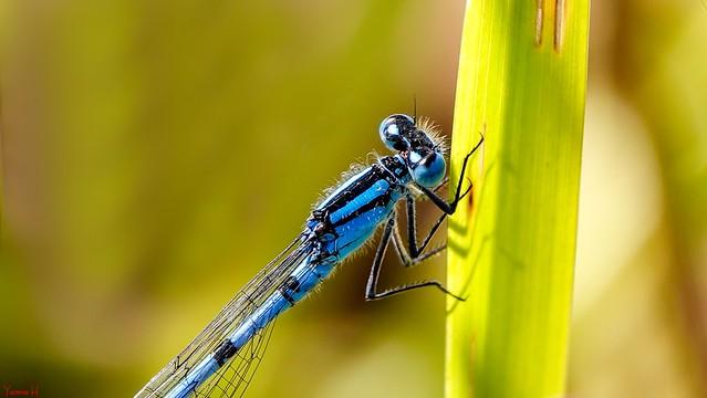 Dragonfly - 7276