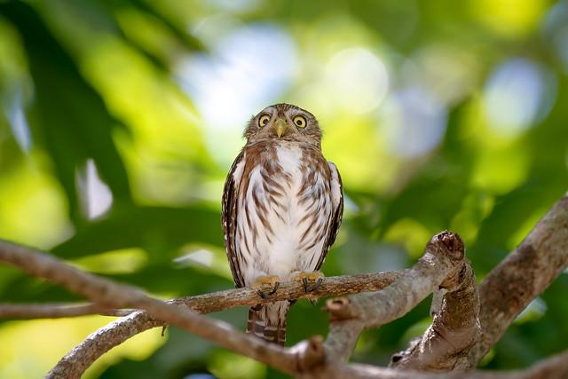 Ferruginous Pygmy Owl.. Chevêchette brune..Costa Rica Album