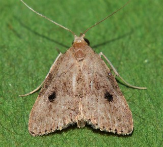 2 spot knob nose moth Tolpia sp Hypenodinae Erebidae Noctuoidea Mandalay rainforest Airlie Beach P1022752