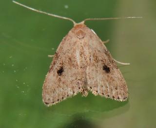 2 spot knob nose moth Tolpia sp Hypenodinae Erebidae Noctuoidea Mandalay rainforest Airlie Beach P1022747