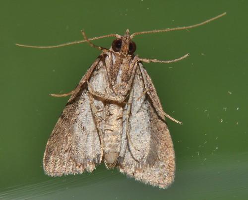 2 spot knob nose moth Tolpia sp Hypenodinae Erebidae Noctuoidea Mandalay rainforest Airlie Beach P1022744