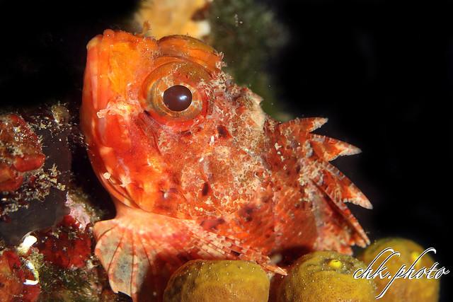 Scorpaena notata - Kleiner Roter Drachenkopf