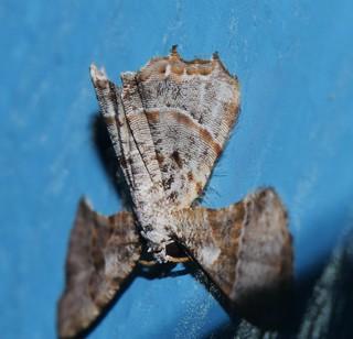 Wing folder Kaftan moth Epiplema sp Epipleminae Uraniidae Airlie Beach rainforest P1022755