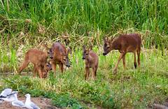 Roe Deer family   Chevreuil