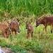 Roe Deer family   Chevreuil