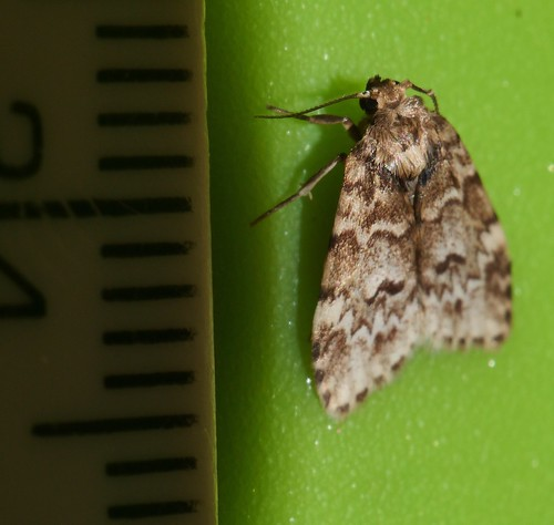 Small eye Magoo moth Halone sp aff interspersa Lithosiinae Arctiidae Noctuoidea Mandalay rainforest Airlie Beach P1022786