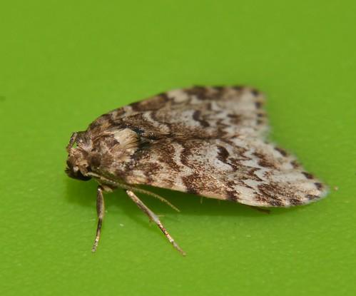 Small eye Magoo moth Halone sp aff interspersa Lithosiinae Arctiidae Noctuoidea Mandalay rainforest Airlie Beach P1022784