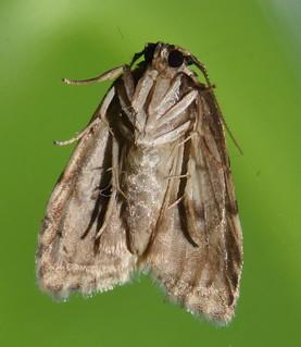 Small eye Magoo moth Halone sp aff interspersa Lithosiinae Arctiidae Noctuoidea Mandalay rainforest Airlie Beach P1022772