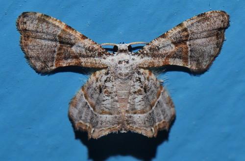 Wing folder Kaftan moth Epiplema sp Epipleminae Uraniidae Airlie Beach rainforest P1022759